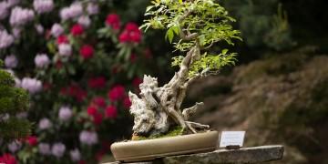 vernisáž výstavy bonsají (3)