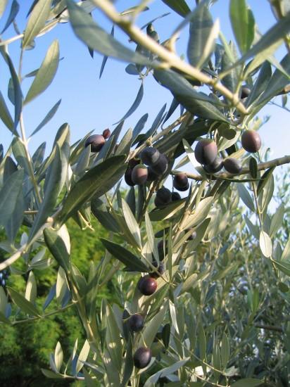 Nebudou chybět olivy a olivový olej