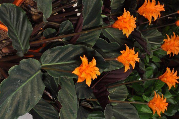 Calathea crocata má nejnápadnější květenství y pěstovaných druhů