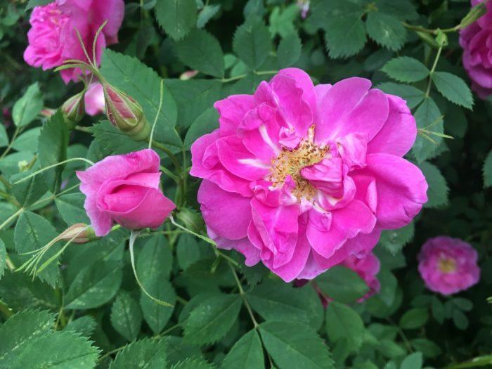 Rosa californica Plena 2