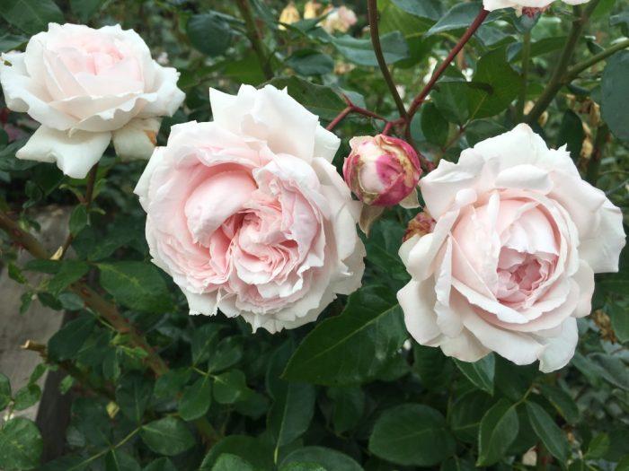 Rosa hybr. Constanze Mozart