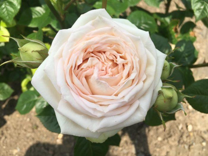 Rosa hybr. Madame Anisette 3