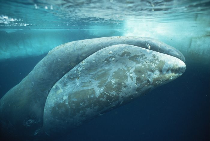 Bowhead whale (Balaena mysticetus) just under ice near surface, Canadian Arctic