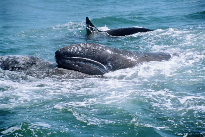 Grey whale mother tries to lift her calf as Killer whales (Orcinus orca) attack, Monterey, Pacific, California USA