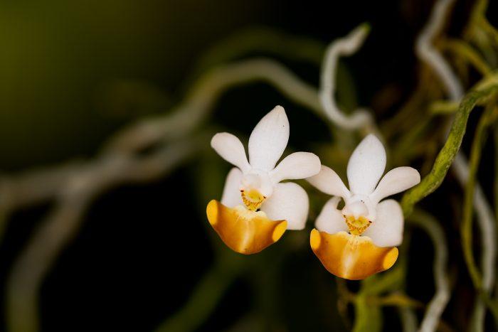 MD6A8070_phalaenopsis lobbii_m