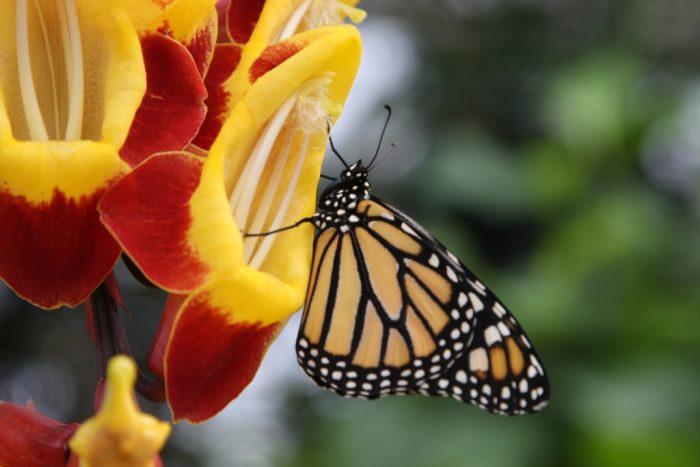 Danaus plexippus - monarcha stěhovavý