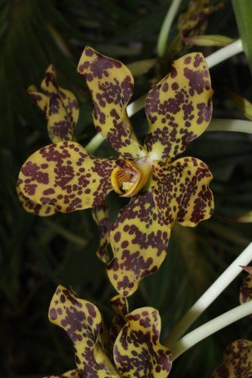 Gramatophyllum spectabile