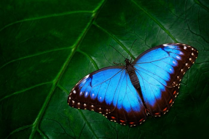 Blue Morpho, Morpho peleides, big butterfly sitting on green leaves, beautiful insect in the nature habitat, wildlife, Amazon, Peru, South America
