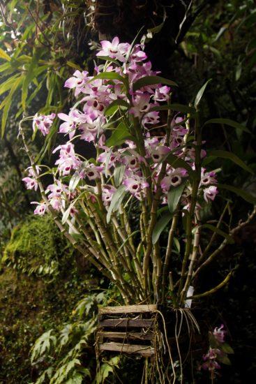 Dendrobium nobile, Troja